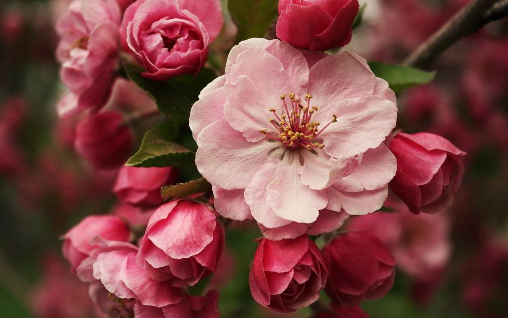7029798-pink-blossom