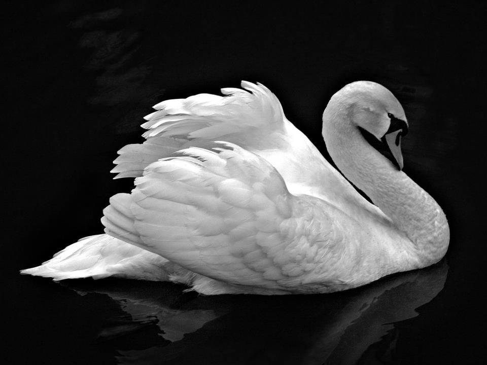 white swan with black background, representing kapha dosha