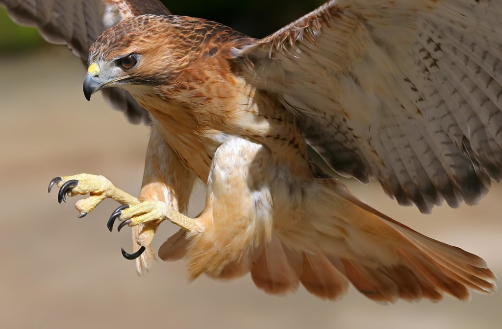 Hawk flying with talons out and fierce eyes to represent pitta dosah